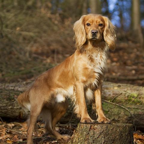Stud Dogs, Breeding, Quality Lines