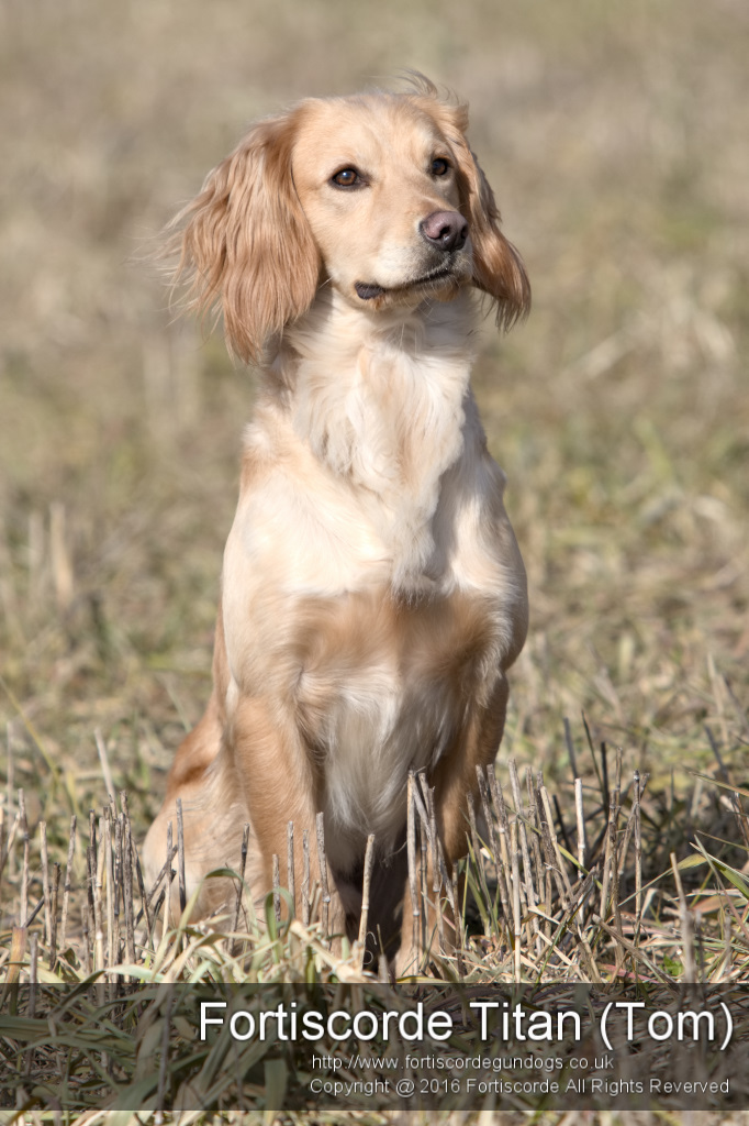 Stud Dogs, Breeding, Quality Lines