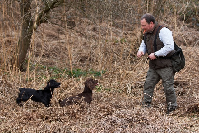 Training Spaniels in long grass