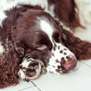 dog-breed-english-springer-spaniel-is-lying-down-floor-waiting-his-family-owner-home